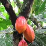 Cacao tree with fruit pods